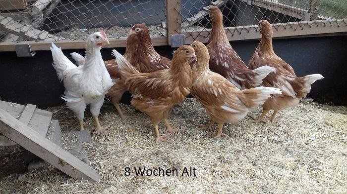 Befruchtung Bei Hühnern