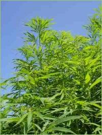 milch zum pflanzenschutz