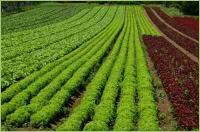 Kalkdünger im Gemüseanbau